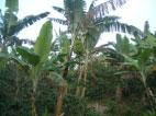 バナナの樹がシェードツリーとして植えられています。